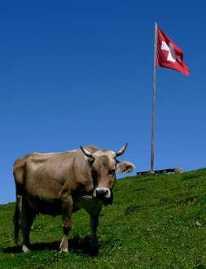 cow_swiss_flag2